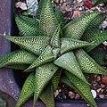 Haworthia limifolia 琉璃殿 - panoramio.jpg