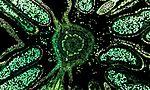 Hazelnut (male flower), overlay of 7 channel autofluorescence microscopy (30458886372).jpg