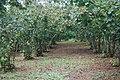 Hazelnut plantation in Guria.jpg