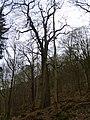 Heald Wood - geograph.org.uk - 1160273.jpg