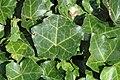 Hedera helix (English ivy) 3 (38775361764).jpg