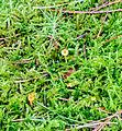 Heftel-Helmling - Rickenella fibula.jpg