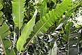 Heliconia rostrata 28zz.jpg