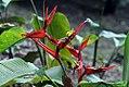 Heliconia tortuosa 0zz.jpg