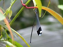 Helicopter Damselfly - Flickr - treegrow (1).jpg
