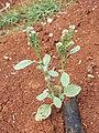 Heliotropium europaeum sl40.jpg