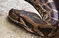 Heller Tigerpython Python molurus molurus.jpg