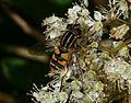Helophilus pendulus (Common Tiger Hoverfly) - Flickr - S. Rae (2).jpg