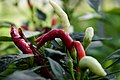 Herb of chili.jpg