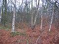 Hermand beech wood. - geograph.org.uk - 89256.jpg