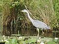 Heron (14379206092).jpg