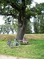 Hessen, Germany. Old oak on the Rhine dyke near former ferry between Nordheim and Rheindürkheim. - panoramio.jpg