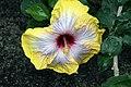 Hibiscus rosa-sinensis Fifth Dimension 7zz.jpg