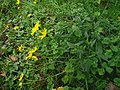 Hieracium laevigatum plant (04).jpg