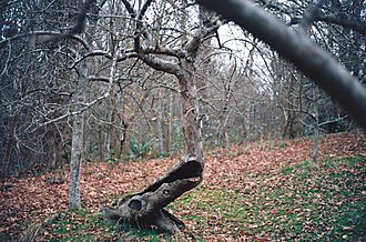 Piper Orchard - Image: Hollow apple tree