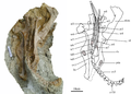 Holotype of Ischioceratops.PNG