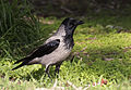 Hooded crow - Corvus cornix 02.jpg