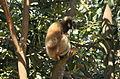 Hooolock-gibbon-aizawl.JPG