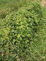 Hop mannelijke plant Humulus lupulus male plant.jpg