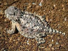 Horned lizard 032507 kdh.jpg