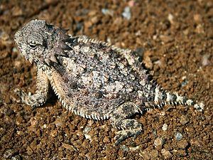 Horned lizard - Regal horned lizard