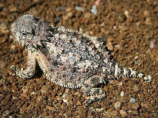 Horned lizard Genus of reptiles