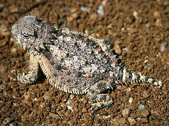 Horned lizard - Regal horned lizard