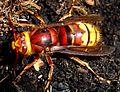 Hornet. Vespra crabro - Flickr - gailhampshire.jpg