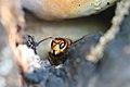 Hornisse Vespa crabro 6486.jpg