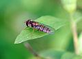 Hoverfly (2558205983).jpg
