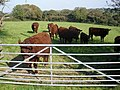 How now, brown cow^ - geograph.org.uk - 983041.jpg