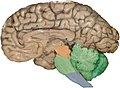 Human brainstem Sagittal view.jpg