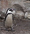 Humbouldt Penguin tučňák Humboldtův (8550275695).jpg