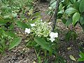 Hydrangea heteromalla Snowcap - Flickr - peganum (5).jpg