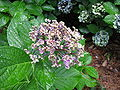 Hydrangea macrophylla 'Ayesha' -Popcorn Hydrangea.jpg