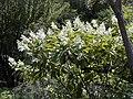 Hydrangea paniculata 'Unique'.jpg