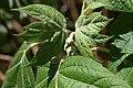 Hydrangea quercifolia 17zz.jpg