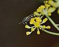 Hylaeus adspersus female 1.jpg