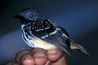 Spot-backed antbird - Image: Hylophylax naevia