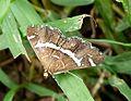 Hymenia recurvalis - Flickr - gailhampshire.jpg