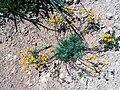 Hypecoum procumbens Habitus 25April2009 CampodeCalatrava.jpg