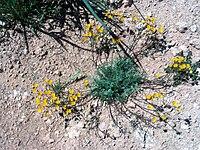 Hypecoum procumbens Habitus 25April2009 CampodeCalatrava