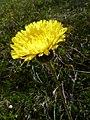 Hypochaeris maculata (massif des Vosges).JPG