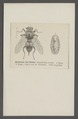 Hypoderma - Print - Iconographia Zoologica - Special Collections University of Amsterdam - UBAINV0274 039 04 0002.tif
