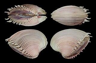 <i>Pitar dione</i> Species of bivalve