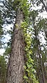 IMAG1115 forest tree view.jpg