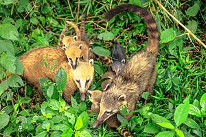 South American coati - A family of coati in Iguazu Falls
