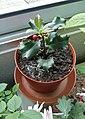 Ilex aquifolium tiesto.jpg