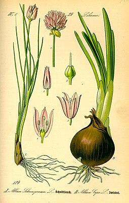 Allium schoenoprasum & Allium cepa