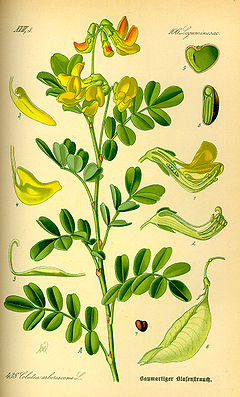 Illustration Colutea arborescens0.jpg